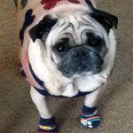 Pug in Socks